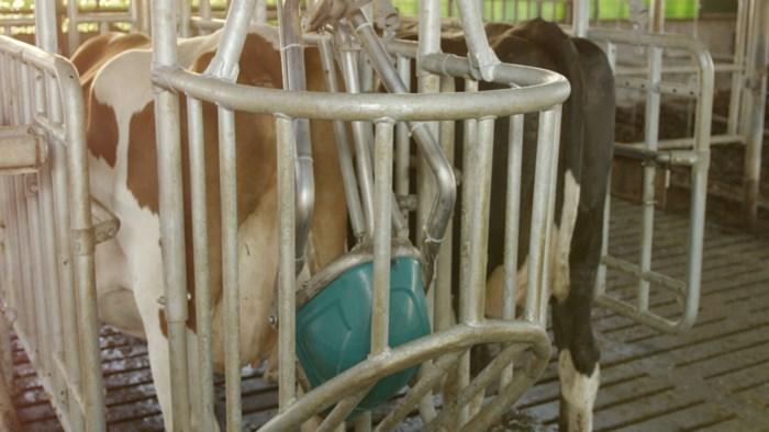 """Zo ziet 'het potje' voor koeien eruit: """"Elke koe kan zindelijk worden gemaakt"""""""
