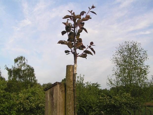 Zeldzame appelbomen gestolen: fruitteler belooft beloning voor gouden tip