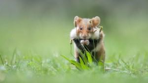 Vlaanderen laat wilde hamsters vrij in Tongeren
