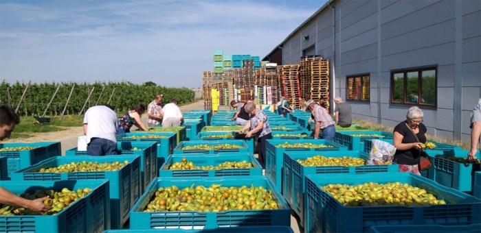 Fruitboer deelt uit protest 50 ton peren gratis uit