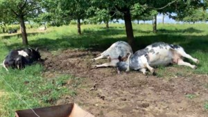 Drie drachtige koeien gedood door blikseminslag