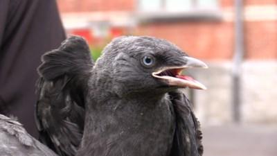 Natuurhulpcentrum bevrijdt jonge kauwen uit nest van zwerfvuil