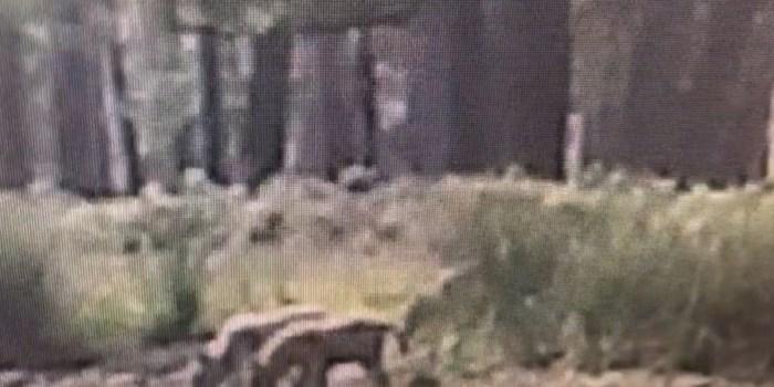 Dit zijn de eerste Nederlandse wolvenwelpjes in twee eeuwen