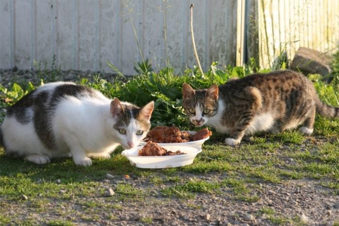 Paar dozijn wilde katten op Diestersteenweg gevangen