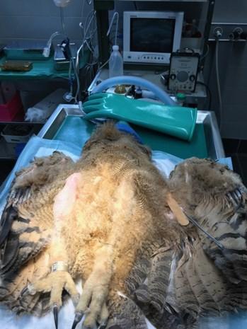 Jonge oehoe geopereerd na gecompliceerde breuk aan scheenbeen