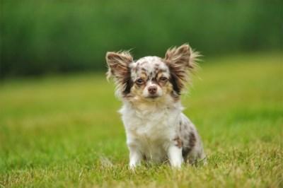 Doodsmijten chihuahua levert Truienaar 10 maanden cel op