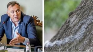 """Burgemeester Maaseik wil helikopters tegen processierups: """"Enorm veel zieken"""""""