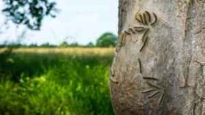 Boerenbond raadt aan vee weg te houden van met processierups besmette bomen