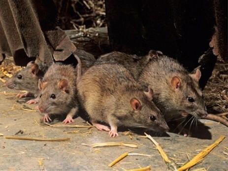 Gemeente Lanaken stopt verkoop rattengif
