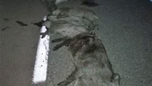 Drie auto's perte totale na crash met groep everzwijnen