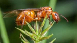 Invasie van vliegende mieren vroeger dan gewoonlijk