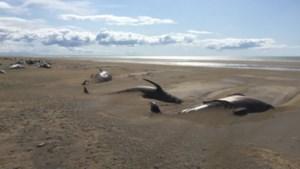 Toeristen zien tientallen walvissen dood op strand liggen