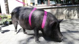 Hangbuikzwijn met halsband teruggevonden in Niel-bij-As