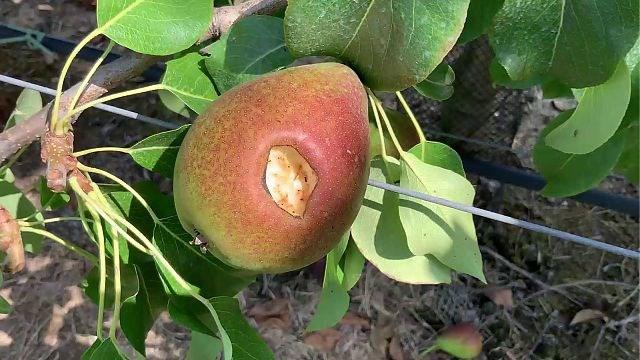 Fruittelers volgen hittegolf met argusogen