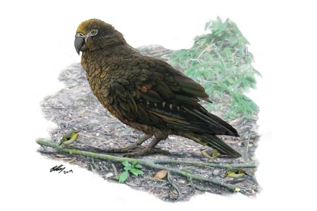Wetenschappers ontdekken reusachtige papegaai die ooit Nieuw-Zeeland bevolkte
