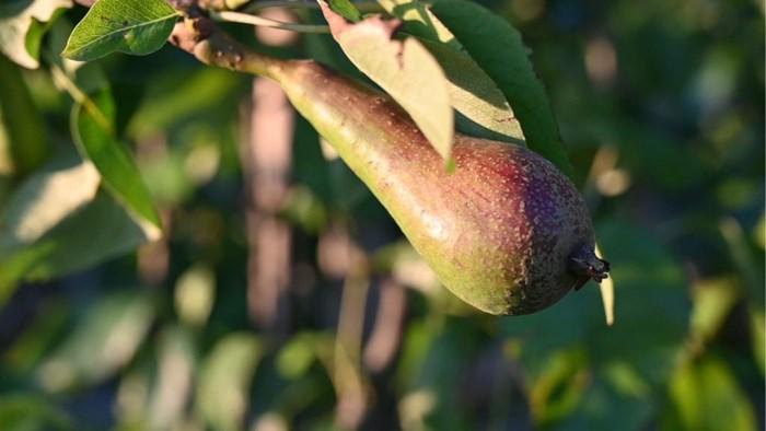 Fruitsector verwacht minder peren en appelen