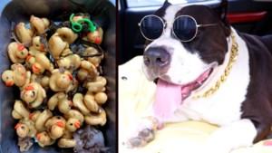 Ongelofelijk: dierenartsen moeten maar liefst 32 rubberen eendjes uit maag van gulzige hond verwijderen