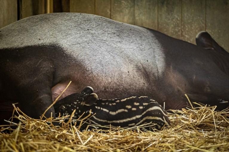 Antwerpse Zoo verwelkomt tapirbaby vol stippen