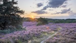 OPROEP. Fraaie beelden: bloeiende Brunsummerheide kleurt paars