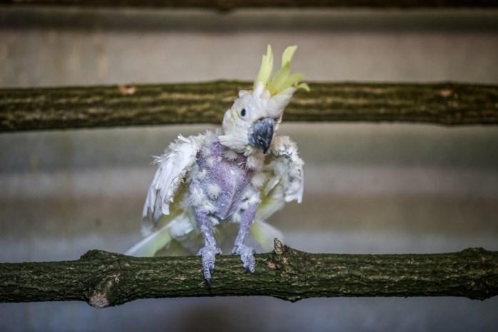 Gepluimde papegaai van pastoor is hot: bijna 1.000 kandidaten om vogel te adopteren