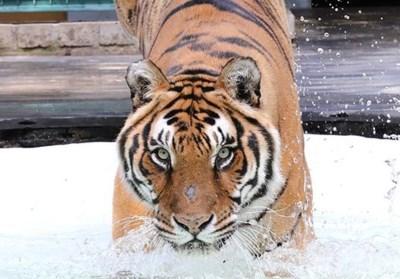 Vrouwtje van koppel Spaanse tijgers in Natuurhulpcentrum haalt het niet
