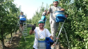 Start Limburgse fruitpluk: minder Polen, meer Roemenen en Bulgaren
