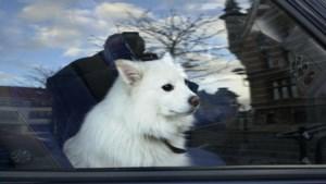 Hond achtergelaten in de wagen? Niet altijd een probleem
