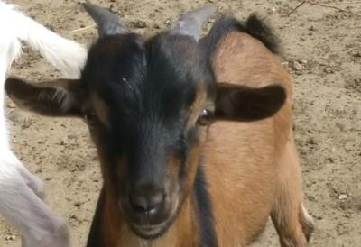 Eigenaar van geitenbok uit Munsterbilzen gezocht
