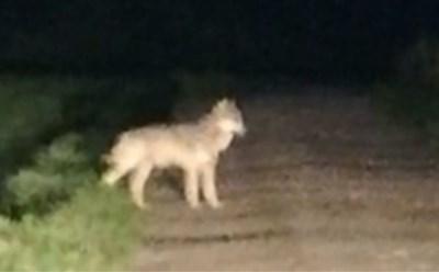 Overal in Limburg worden wolven gespot: alleen Naya en haar welpen blijven spoorloos