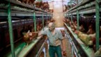 Alle 8.000 kippen geruimd op Bilzense boerderij met dioxinebesmetting