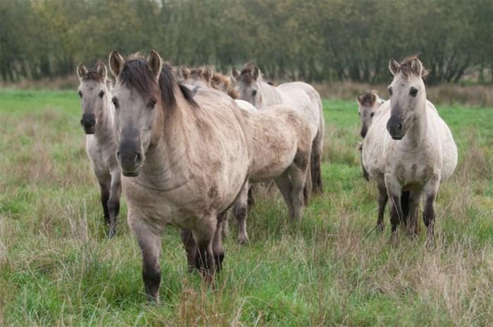 Politielint moet wilde paarden tegenhouden