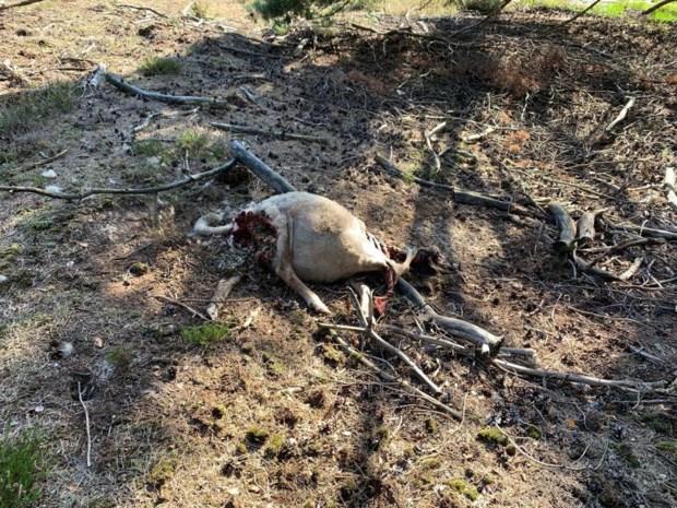 Weer schaap doodgebeten, maar de killer is dit keer niet de wolf