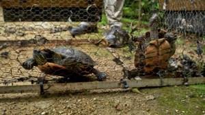 Genk bindt strijd aan met overvloed aan schildpadden