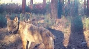 LUISTER HIER. Oorlog tussen Welkom Wolf en jagers: dreigement via voicemail vrijgegeven