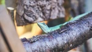 OPROEP. Hebt u een groene leguaan of vliegend draakje? Dit moeten reptielenhouders vanaf dinsdag doen