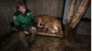 Opglabbeekse leeuwen verhuizen vandaag naar Zuid-Afrika