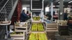 """Omzet Vlaamse fruitsector zakt met 12 procent: """"Gitzwart jaar voor appel- en perenboeren"""""""