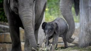 Dierentuinen strijden tegen mysterieus virus dat olifanten velt