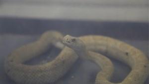 Levensgevaarlijke ratelslangen gedumpt in bos en opgevangen in Natuurhulpcentrum