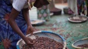 Belgische melkveehouders maken chocolademelk met Fairtrade cacao