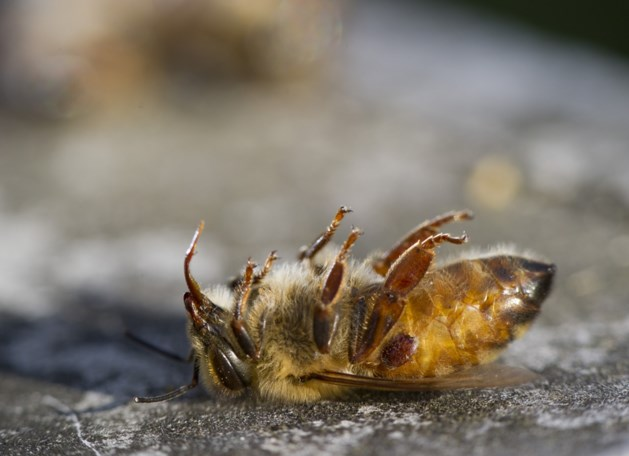 Bijen in Rusland sterven massaal