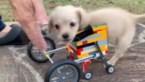 Meisje maakt leuke rolstoel in Lego voor mini-puppy zonder voorpootjes