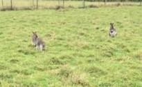 Ontsnapte wallaby Joey zet buurt op stelten: bekijk hier de beelden