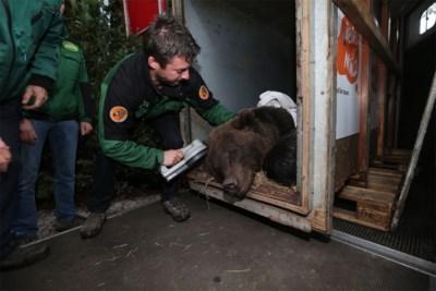 Uit Sovjetmuseum geredde beren verhuizen van Opglabbeek naar Ierland