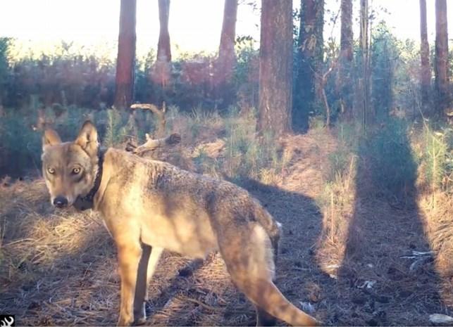 EU-Hof verbindt strenge voorwaarden aan afschieten wolven