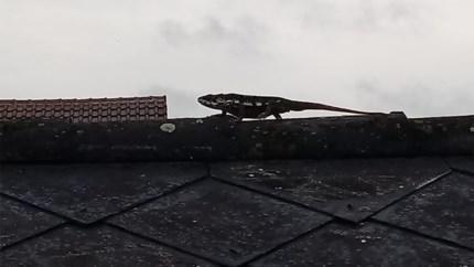 Kameleon op nok van dak gespot in Bocholt