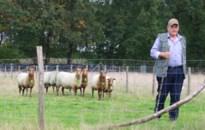 Erfgoedhoflabel voor bedreigd schapenras in Neerglabbeek