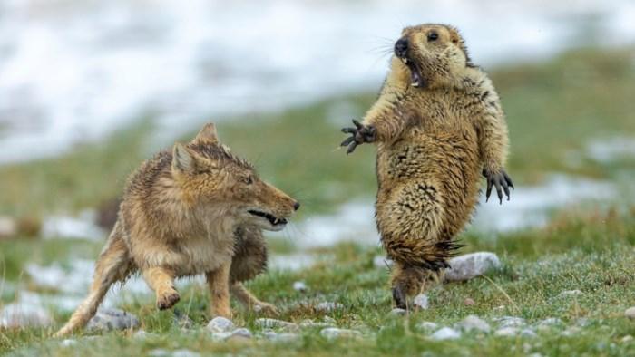 Fotograaf wint 'Wildlife Photographer of the Year' met bange marmot en sluwe vos