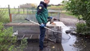 In de drinkbak dreef een dode rat: 60 eenden en ganzen weggehaald in Bocholt