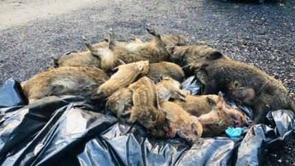 Hasselaar die 19 everzwijnen doodreed: